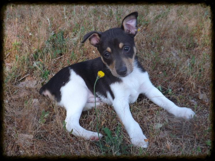 Trained Feist Squirrel Dogs For Sale